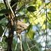 Paradise Flycatcher nest