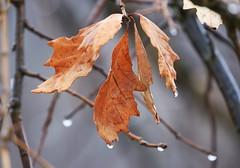 swamp white oak tree leaves at Decorah Fish Hatchery IA 854A2007 (lreis_naturalist) Tags: swamp white oak tree leaves decorah fish hatchery winneshiek county iowa larry reis