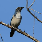 California scrub jay, Aphelocoma californica, along the Guadalupe River in Santa Clara, California, USA thumbnail