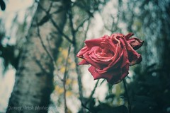 Fuji x-t10 pentacon (Jasrmcf) Tags: fuji fujinon fujifilm fujixt10 fujimacro fujix10 macro dof depthoffield detail bokeh bokehlicious rose flower flowers garden nature pentacon 30mm red beautiful smooth blur petals decay ngc