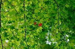 Start of coloring (usotuki) Tags: 横浜 三渓園 葉 紅葉 もみじ 緑 yokohamasankeiengarden nature vegetation green maple autumnleaves autumncolors pentaxk7 callzeissplanar1485zk
