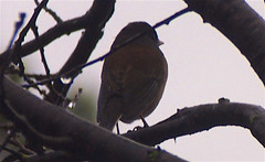 Birdwatching 20141211 (caligula1995) Tags: 2014 birds plumtree rain robin