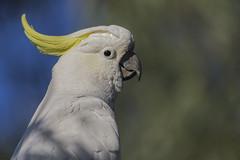 Sulphur-crested Cockatoo 2016-09-04 (60D_3109) (ajhaysom) Tags: sulphurcrestedcockatoo cacatuagalerita woodlandshistoricpark greenvale melbourne australia australianbirds canoneos60d sigma150600