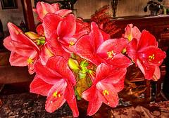 Amaryllis -2- (Jan 1147) Tags: amaryllis bloem bloemen flower flowers nature natuur red rood blossom bloei belgium
