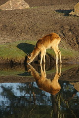 Wie drinkt hier? (limburgs_heksje) Tags: nederland niederlande netherlands noord brabant beekse bergen safaripark dierenpark