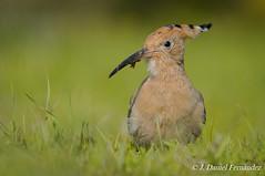 Face to face (Dani (Atrus)) Tags: abubilla upupaepops hoopoe jdanielfernndez elrincndelosprotegidos espaa spain aves birds fauna naturaleza