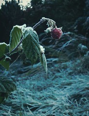 Happy Winter ! Raspberry Frozen Garden Plant Plants Fruit Plant Close-up Leaf Cold Temperature Red Frost Frosty Wales Bush Leaves    (Almena14) Tags: winter raspberry frozen garden plant plants fruit closeup leaf coldtemperature red frost frosty wales bush leaves