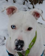 Snow Pebble 2016 (Grace B. H.) Tags: pebble dog bullybreed mixedbreed mutt heterochromia bully mix bullymix winter holiday christmas holidays white whitedog nikond7100 chicago
