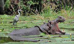 Unwelcome Visitor (Petri_) Tags: greyheron bird hippo mammal wildlife water aquatic aggression waterlilies lakepanic krugernationalpark southafrica nikond300s