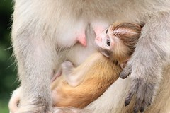 from mother's chest -Rhesus Macaque (cattan2011) Tags: travelblogger traveltuesday travel hongkong reserve landscapephotography natureperfection naturephotography nature wildlifephotography wildlifewednesday wildlife rhesusmacaque monkeys