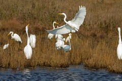 7K8A3990 (rpealit) Tags: scenery wildlife nature chincoteaque national refuge great egrets bird egret