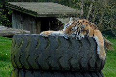 47/52 Celebration (flailing DORIS aka Fur Will Fly) Tags: celebration tiger animal zoo tyre tired nature 4752 project 52 funny cute naturalworld natural comedy nikon