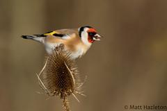 Goldfinch (Matt Hazleton) Tags: goldfinch cardueliscarduelis bird nature wildlife animal outdoor canon100400mm canoneos7dmk2 canon 100400mm eos 7dmk2 summerleys northamptonshire england matthazleton matthazphoto