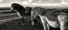 Fantastic Beasts and Where to Find Them (Jon_Wales) Tags: llangynidr moorland common horses ponies winter beasts animals mountain welsh wales cymru breconbeacons nationalpark monochrome blackandwhite