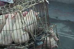 Pigs in a Basket (steve_whitmarsh) Tags: vietnam asia orient hanoi bike street animal pig