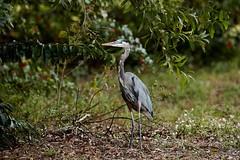 Dec 05 201628327 (Lake Worth) Tags: animal animals bird birds birdwatcher everglades southflorida feathers florida nature outdoor outdoors waterbirds wetlands wildlife wings canoneos1dxmarkii canonef500mmf4lisiiusm