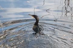 Phalacrocorax carbo --   Great Cormorant 016 (2) (Tangled Bank) Tags: wild nature natural alachua county florida tree spanish moss flower bird phalacrocorax carbo great cormorant 016 2