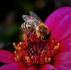 November bee / Novemberbiene (Caledoniafan (Astrid)) Tags: caledoniafan nature natur biene bee flo blume pink autumn fall her november baroquegardenslichtenwalde barockgartenlichtenwalde nikon nikoncoolpixl820 nikoncoolpix
