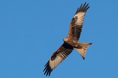 Red Kite (Tim Melling) Tags: milvus red kite leeds west yorkshire timmelling