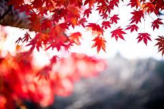 Halcyon Days (moaan) Tags: kobe hyogo japan jp autumn lateautumn autumnleaves autumncolors fallcolors branch maple japanesemaple momiji light sunlight bright bokeh dof indiansummer otus1455 canoneos5dsr zeissotus1455ze
