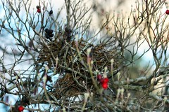 At the Break of Day... (Sylvia...Sometimes) Tags: nature wind rain storms nest home dogwoodtree