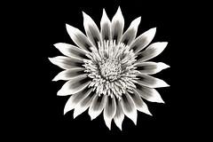 Go Gazinia! (JaniceNZ) Tags: sunflower gazinia flower happy smiling plant nature