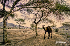 A Visitor! (haidarism (Ahmed Alhaidari)) Tags: camel animal nature rain tree green outdoor visitor sky bluesky clouds sonya65 depthoffield saudiarabia madina ngc travel traveller tourism tourist