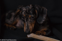 """""""Jetje"""" You can't see i'am bussy with my bone ? (Fred / Canon 70D) Tags: teckel dachshund dackel dapple pet dog ef100mmf28lmacroisusm canon70d canoneos canon falconeyesskk2150d huisdier"""
