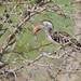 Südlicher Rotschnabeltoko / Southern Red-billed Hornbill