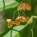 Euonymus atropurpureus (eastern wahoo), ripening fruit