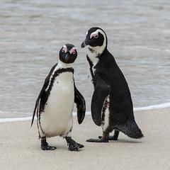 Manchot du Cap-9.jpg (BoCat31) Tags: faunesauvage afrique oiseauaquatique manchotducap couple