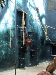 "Orangutan on ladder • <a style=""font-size:0.8em;"" href=""http://www.flickr.com/photos/34843984@N07/14919142714/"" target=""_blank"">View on Flickr</a>"