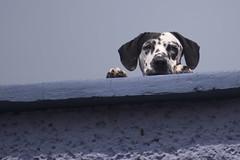 Te Observo (Jos Ramn de Lothlrien) Tags: dog dogs jr perro ojos perros mascota mascotas perrito dalmata manchas producciones perrote dalmatas manchitas manchadas