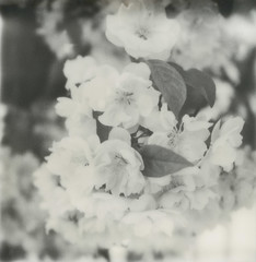 little white flowers (davebias) Tags: polaroid sx70 squareformat impossible px100 polaroidweek