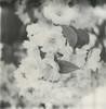 little white flowers (davebias) Tags: polaroid sx70 squareformat impossible px100 polaroidweek