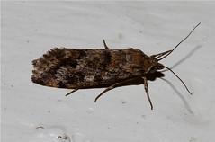 Moth sp. Seronera - Tanzania (Nick Dean1) Tags: insect tanzania moth lepidoptera arthropoda arthropod insecta serengetinationalpark crambidae seroneralodge