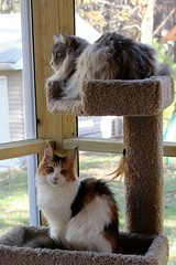 SATURDAY ON THE CATIO (Nonni_F) Tags: autumn fall cat silver outside climb stand kitten feline air maine kitty happiness mc coon calico meow catio patched