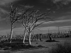 11102014-DSC00164 (sbstnhl - Siti) Tags: bw naturaleza blanco lago arboles sony inundacion negro bn ruinas sal dsch2 epecuen