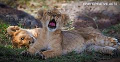 Being a lion cub is so tiring! (WhiteEye2) Tags: africa kenya wildlife lion lioncub lioncubs masaimara