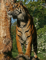 (Gary Wilson  ) Tags: park ireland dublin nature phoenix animal gardens cat canon photography eos zoo photo europe flickr foto image wildlife tiger picture bigcat 7d sumatrantiger panther tigris sumatran phoenixpark dublinzoo zoological 100400l zoologicalgardens