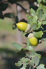 bolotas (mamarocarvalho) Tags: acorn acorns azinheira gland bolotas ghianda