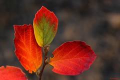 flaming autumn color of Fothergilla major (HansHolt) Tags: autumn red orange color colour fall leaves leaf herfst blad rood oranje kleur bladeren witchalder canonef100mmf28macrousm fothergillamajor canoneos6d lampenpoetsersstruik