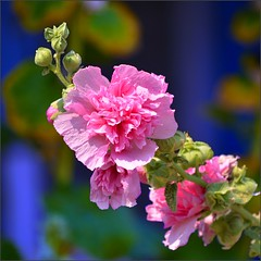 Flowers Color Contrast (swong95765) Tags: flowers flower color colors vibrant clarity blues buds bud pinks