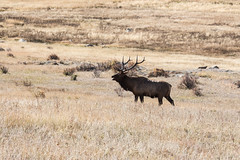 IMG_0015a (markbyzewski) Tags: colorado ugly elk estespark rockymountainnationalpark