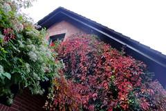 Herbstbilder aus Brnsen (sebastian_lunau) Tags: germany laub herbst bume deu schleswigholstein weinlaub brnsen