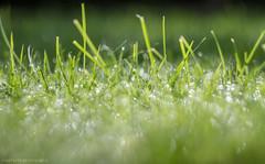 lawn bokeh (markhortonphotography) Tags: water grass canon dof bokeh lawn drop surrey 7d m42 droplet 58mm helios surreyheath f20 manuallens 44m eos7d