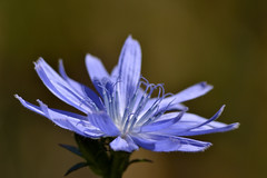 Chicory (P.Woolley) Tags: park flowers massachusetts national mass nationalparkservice minutemannationalpark lincolnmass d3100 nikond3100
