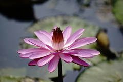Water lily (ddsnet) Tags: plant waterlily sony 99  aquaticplants  slt        nymphaeatetragona    singlelenstranslucent 99v