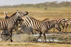 Kick it (Thomas Retterath) Tags: africa nature animals canon tanzania tiere wildlife urlaub ngc natur adventure safari npc zebra afrika mammals allrightsreserved herbivore tansania equidae säugetier abenteuer ndutu 2013 ngorongoroconservationarea pflanzenfresser thomasretterath epuusquagga canonef300lis28usm copyrightthomasretterath