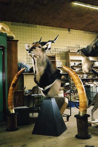 antilope2
